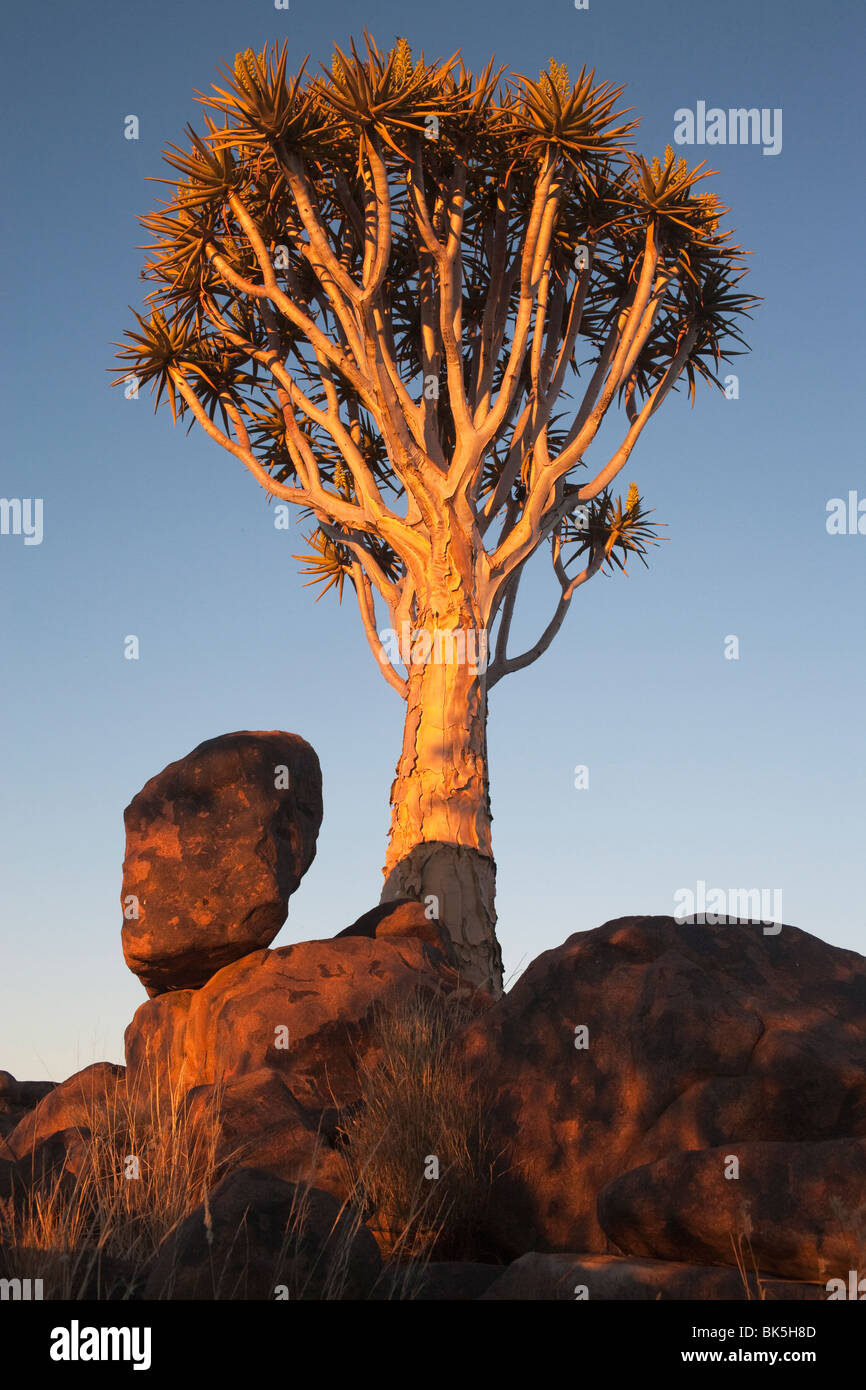 Quiver Tree (Aloe dichotoma), forêt Quiver Tree, Keetmanshoop, Namibie, Afrique Photo Stock