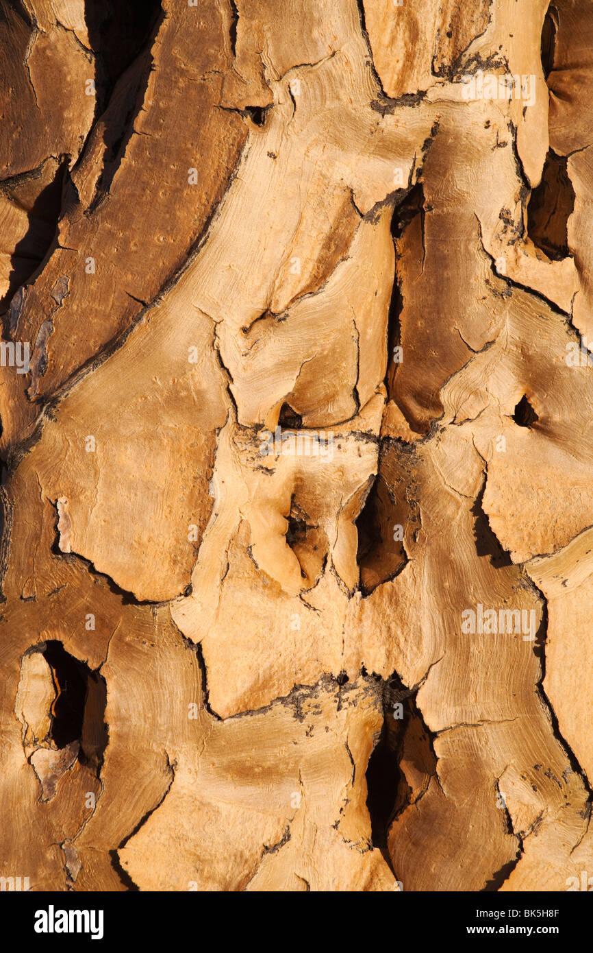 L'écorce des arbres carquois (Aloe dichotoma), forêt Quiver Tree, Keetmanshoop, Namibie, Afrique Photo Stock