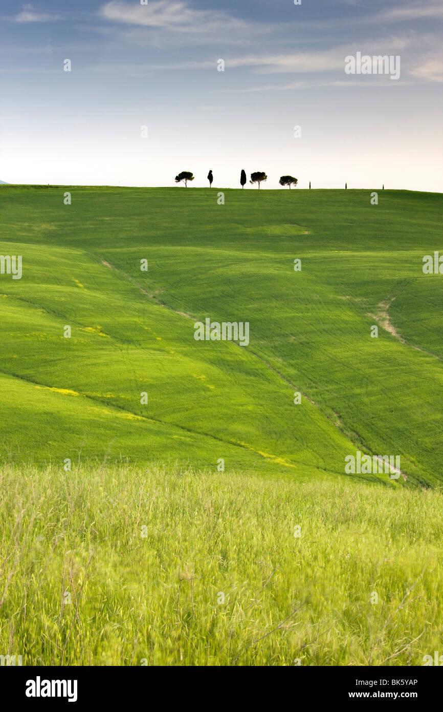 Arbres sur terrain crête au-dessus des cultures céréalières, près de San Quirico d'Orcia, Photo Stock