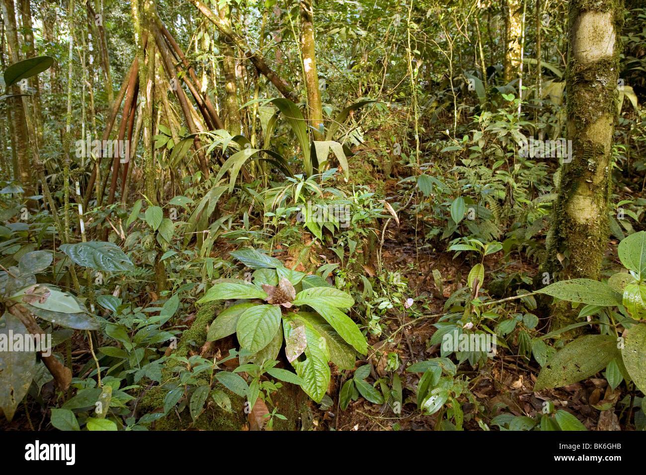 L'intérieur de la forêt tropicale de montagne à 1 000 m d'altitude, à l'Équateur Photo Stock