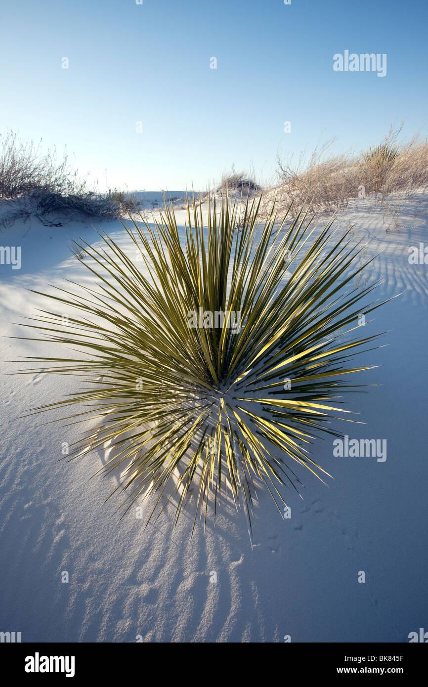 Yucca dans le sable, dunes de sable blanc National Monument, Nouveau Mexique Photo Stock