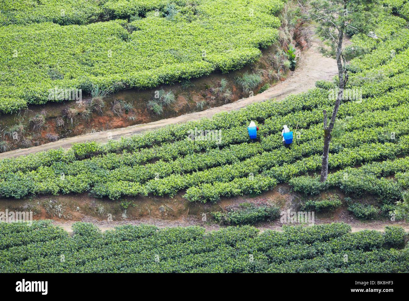 Les cueilleurs de thé à Pedro de thé, Nuwara Eliya, Sri Lanka Photo Stock