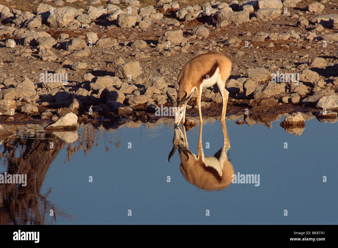 Impala (Aepyceros melampus), boire d'une eau, Etosha National Park, Namibie, Afrique Photo Stock