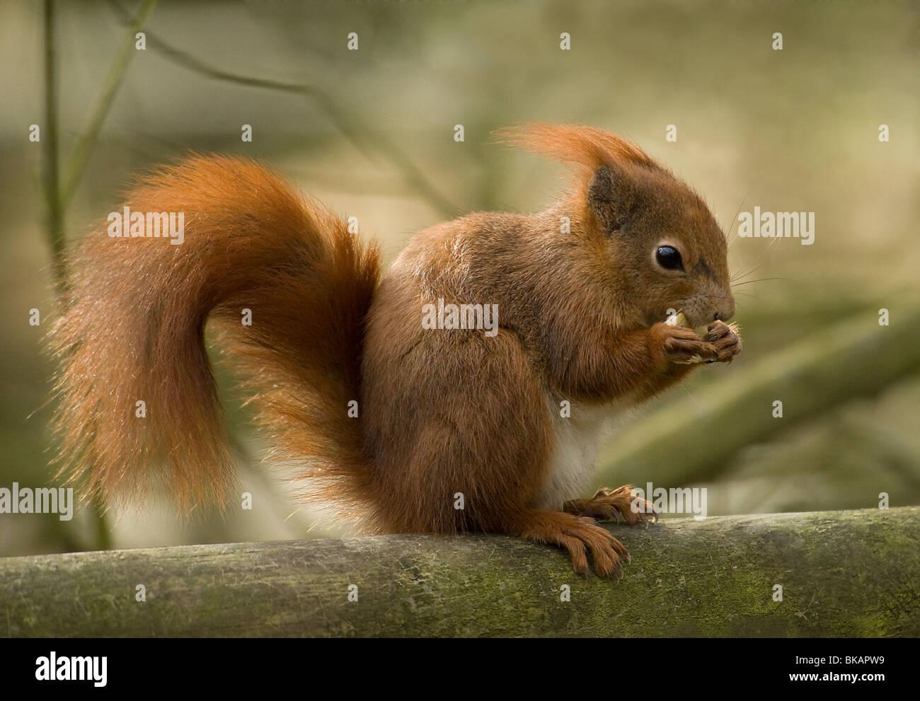 L'alimentation de l'écureuil rouge Photo Stock