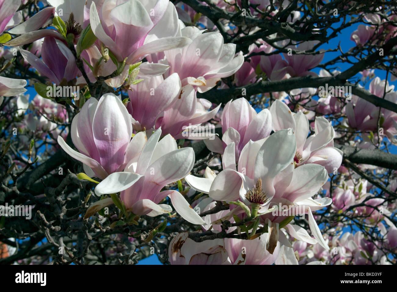 Soucoupe Japonaise Rose Magnolia Arbre En Fleur Ressort E Usa Par