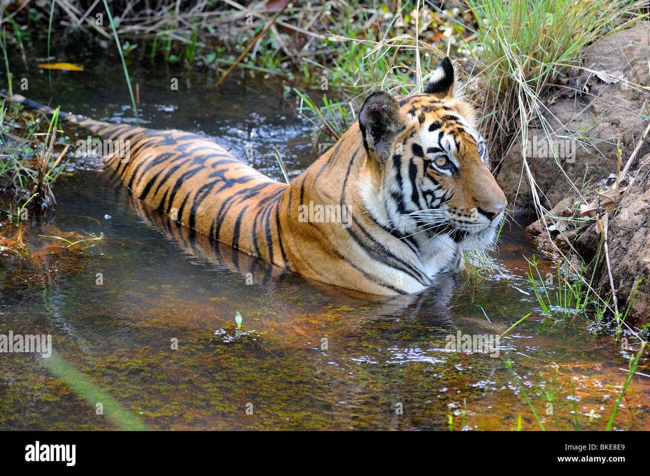 Tigre du Bengale, Panthera tigris tigris Banque D'Images