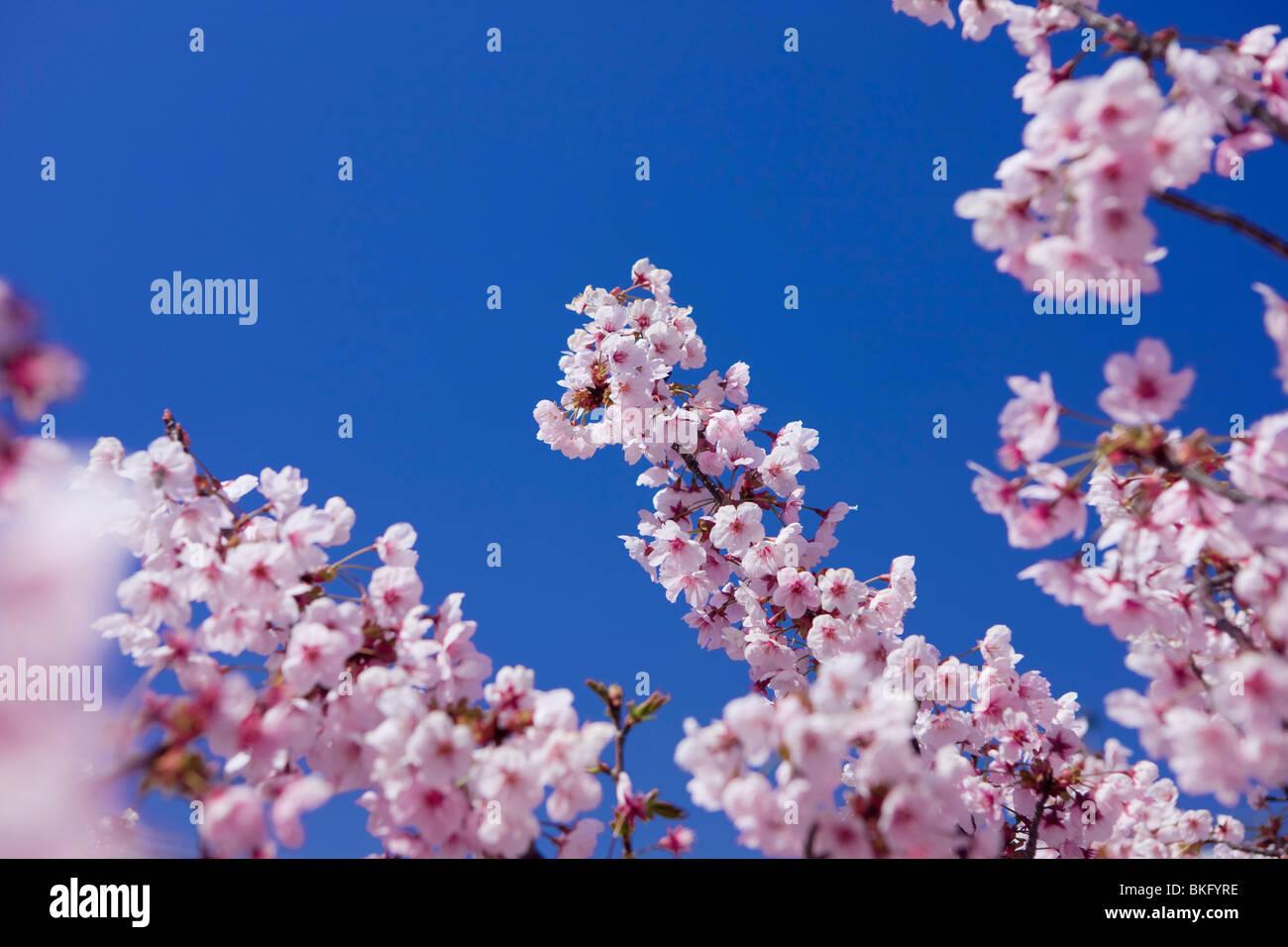 Les fleurs de cerisier a fleuri plein Banque D'Images