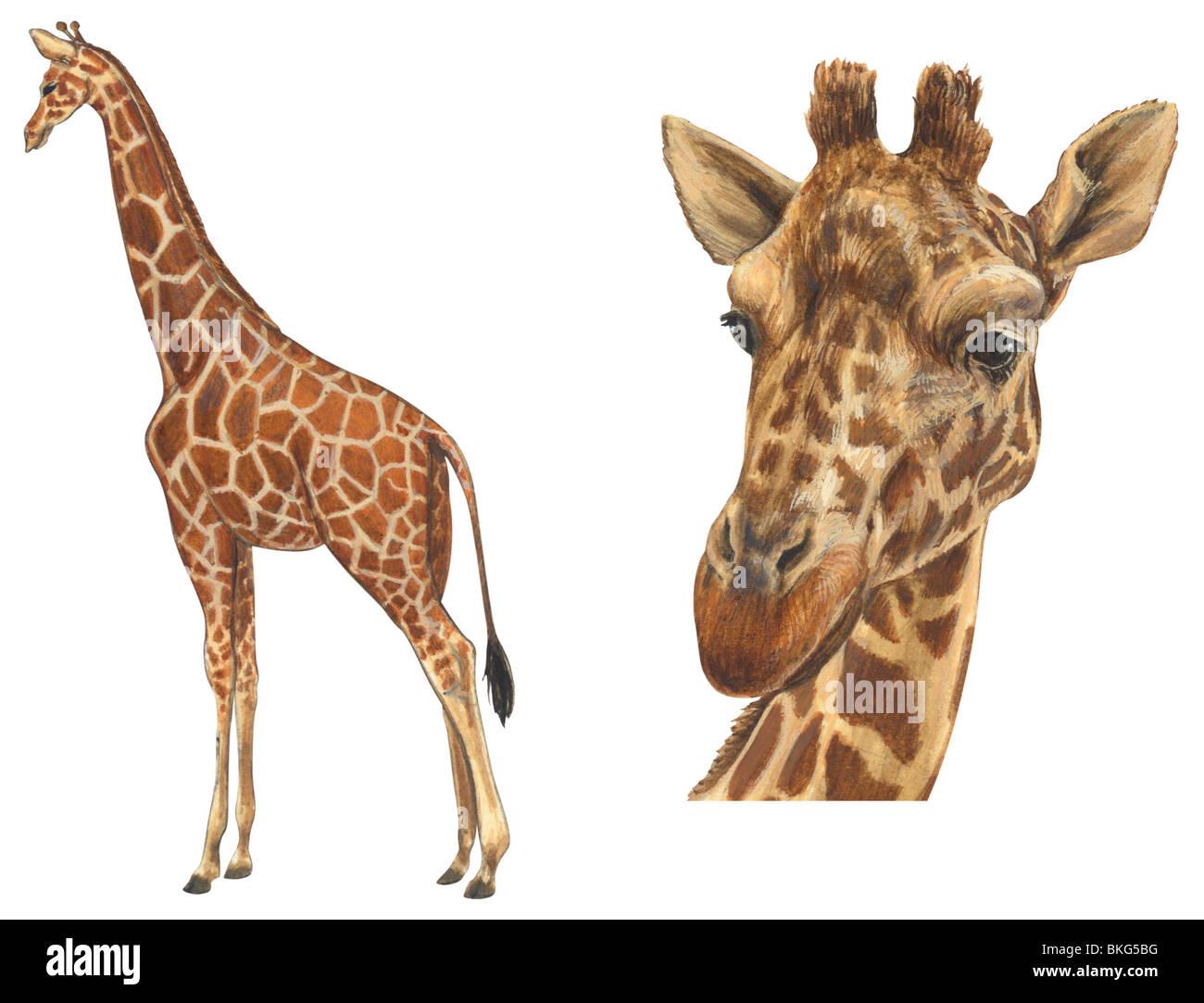 Giraffe réticulée Banque D'Images