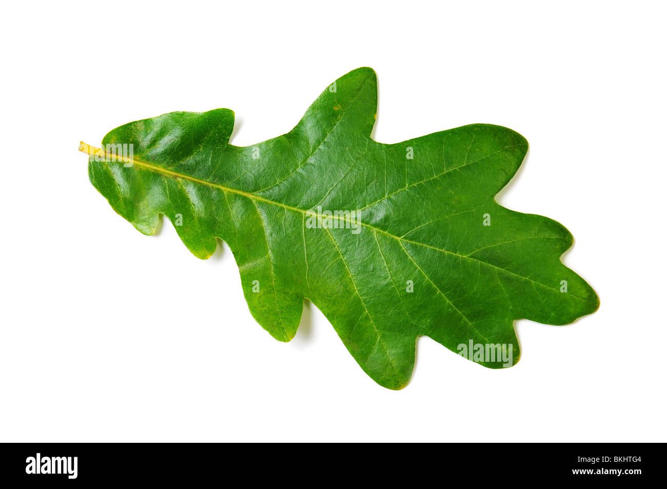 Feuille de chêne verte sur fond blanc. Image isolée Photo Stock