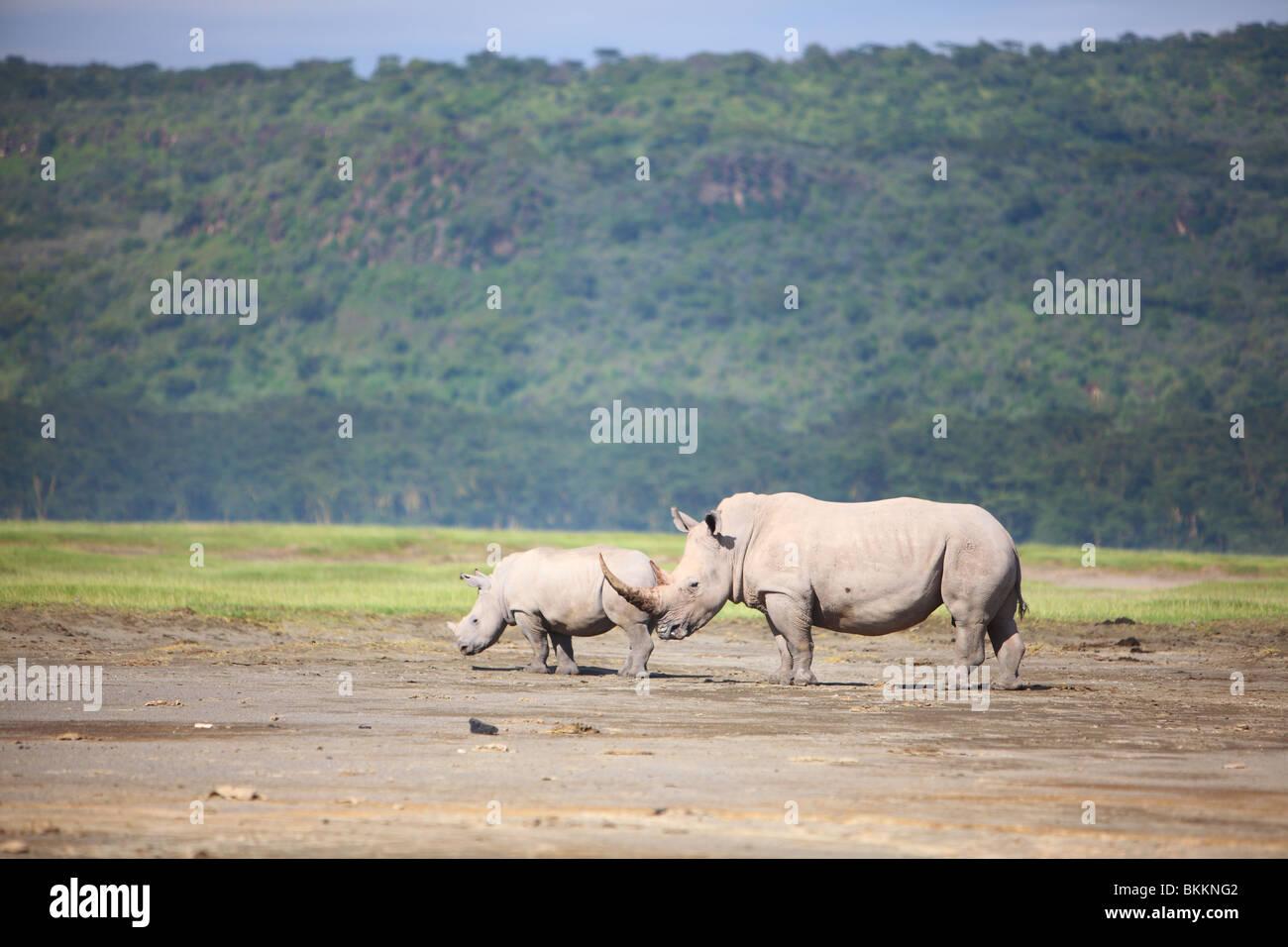 Kenya, Parc national du lac Nakuru, Rhino, rhinocéros blanc, Ceratotherium simum Banque D'Images