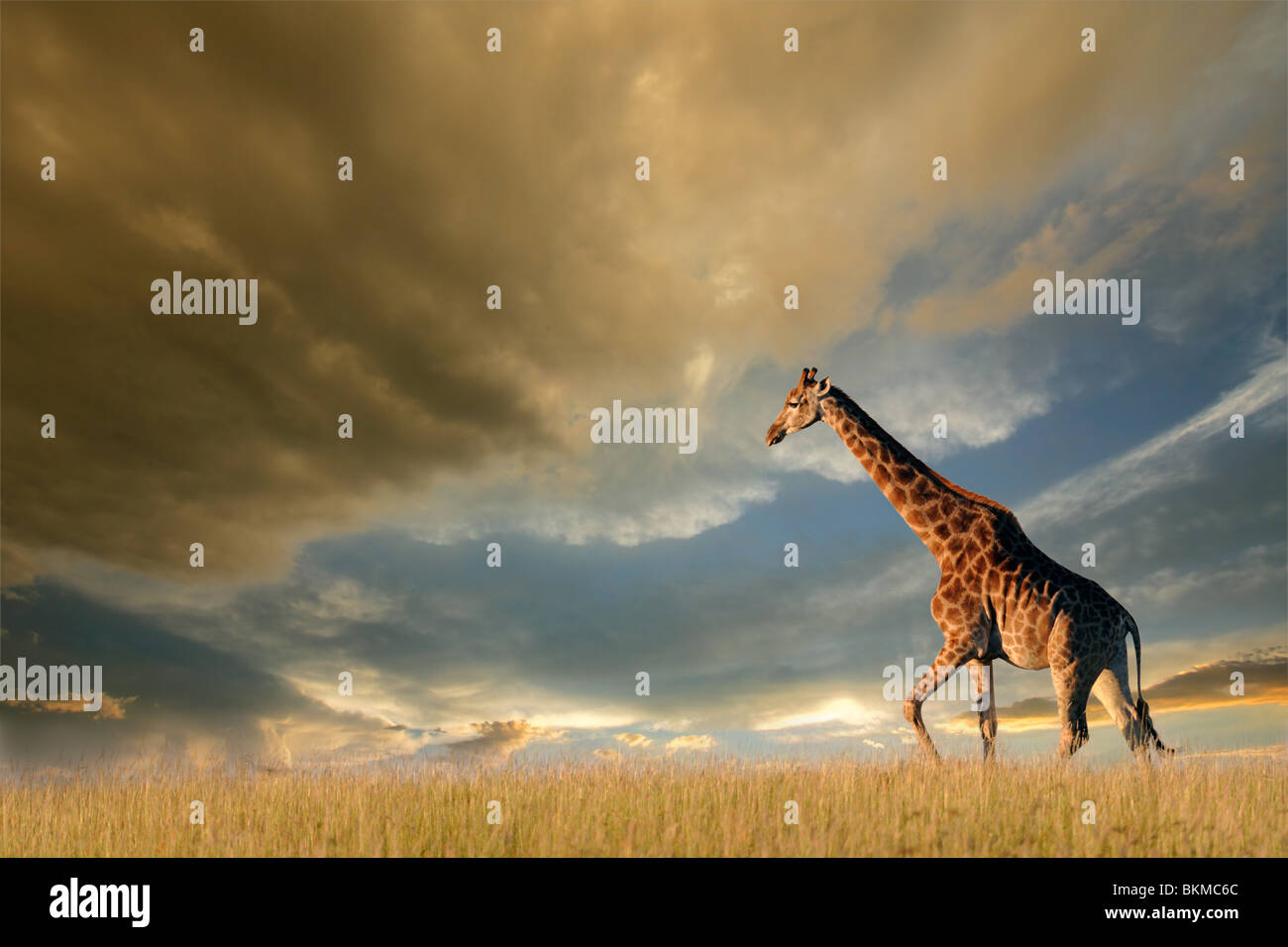 Une girafe marche sur les plaines Africaines contre un ciel dramatique Photo Stock
