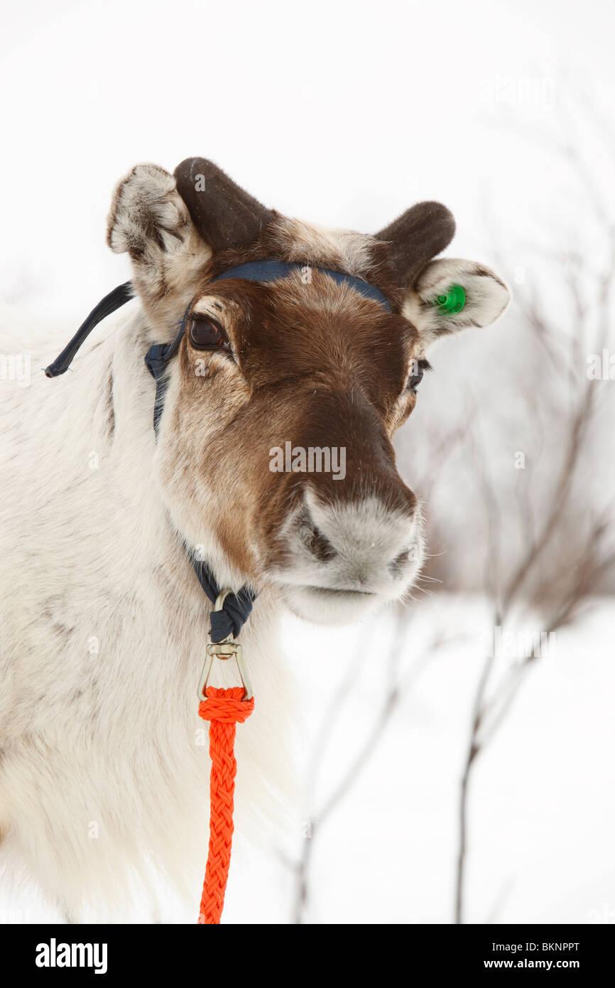Coupe du Monde de Course de rennes, organisé lors de la fête de Pâques sami de Kautokeino dans Finnmarksvidda en Norvège Banque D'Images