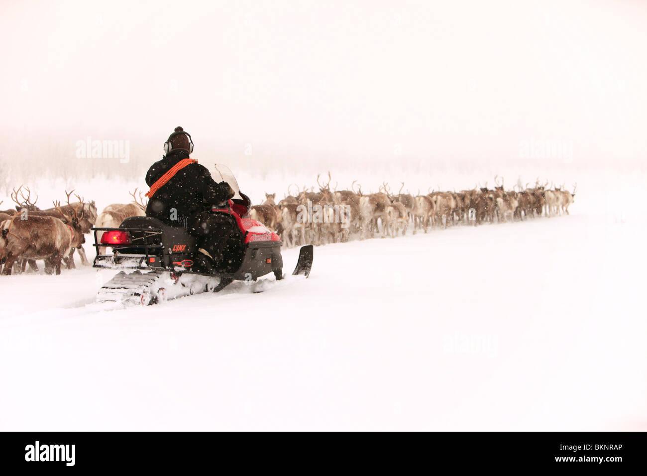 Le rapport annuel de printemps de la migration des rennes sami Stubba nr Gällivare en Suède par l'intermédiaire Photo Stock