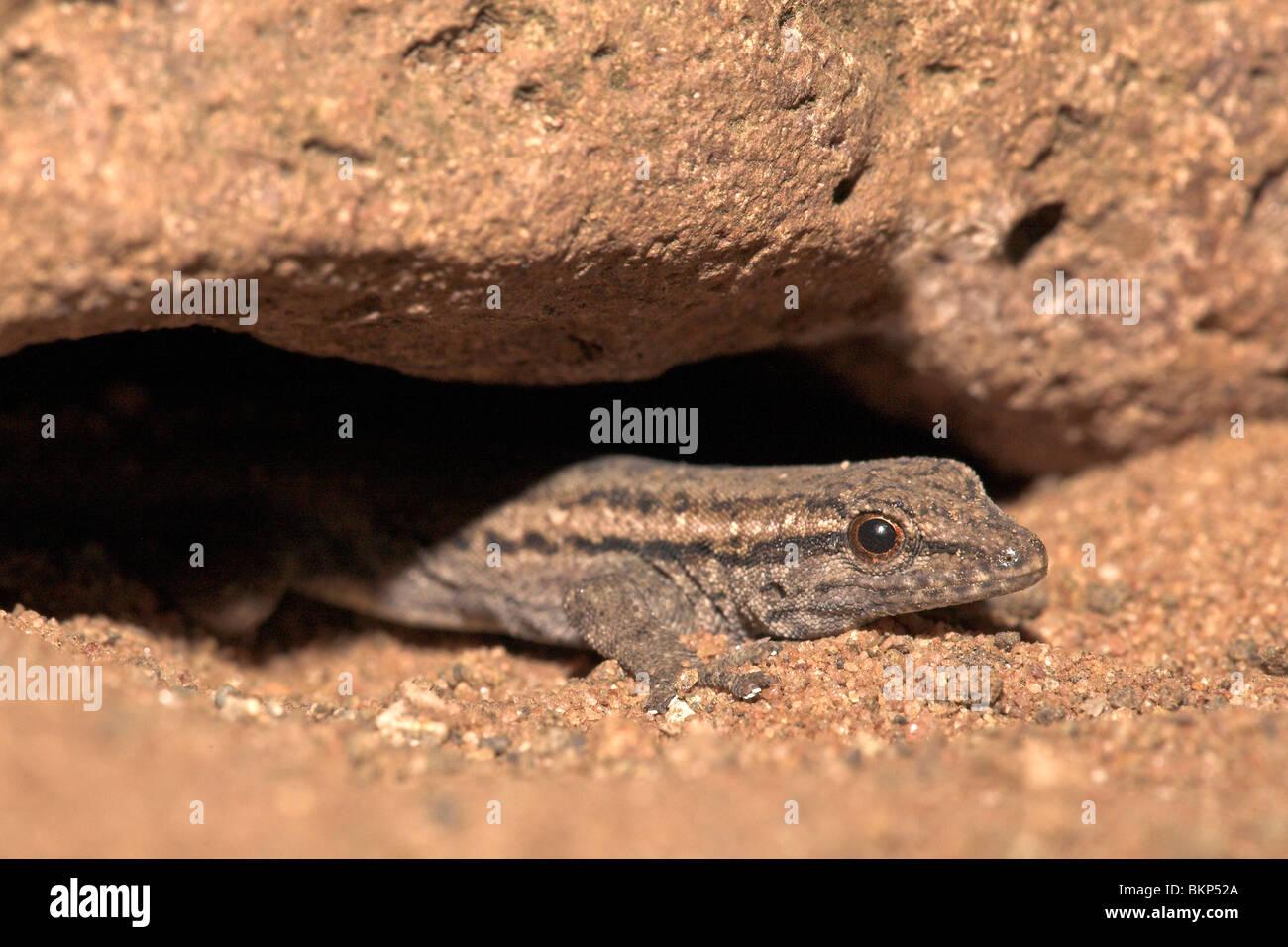 Photo d'un gecko nain du cap Banque D'Images