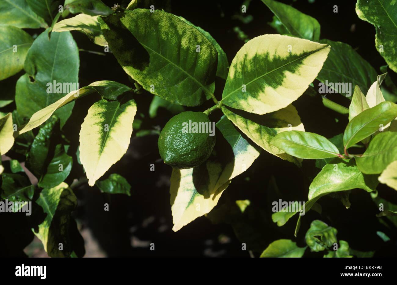 Feuilles de citron montrant des signes d'une grave carence en calcium Photo Stock