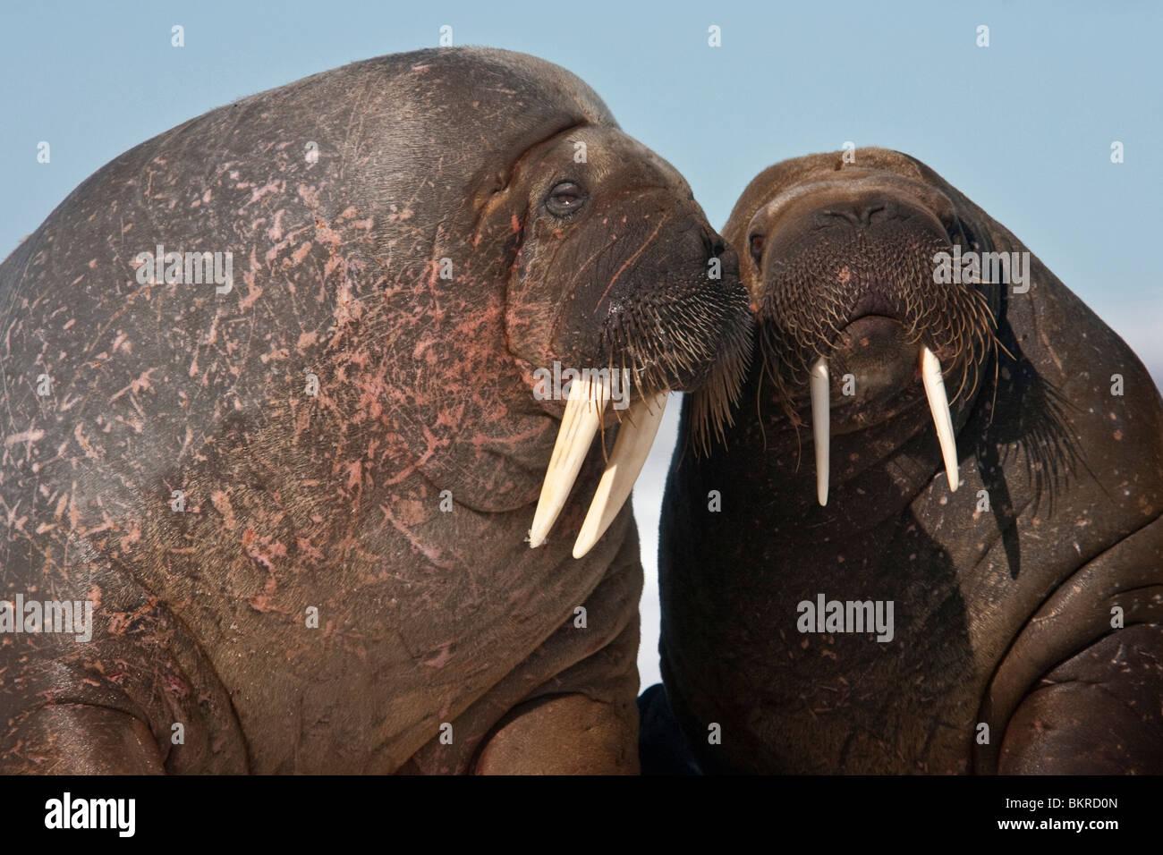 Un couple affectueux de Walrus Photo Stock