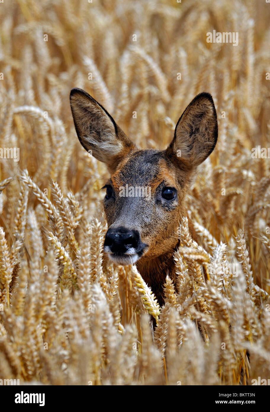 Chevreuil en automne champ de blé. Photo Stock