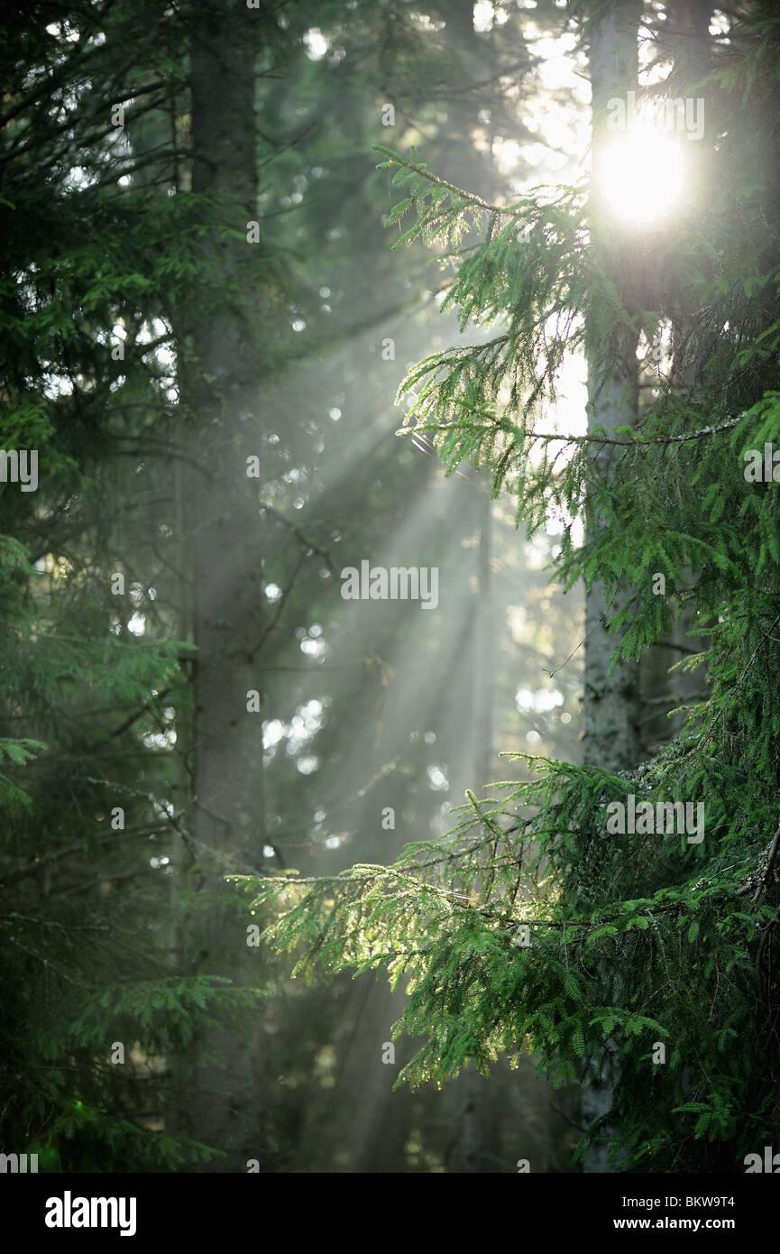 La lumière du soleil dans le bois 1100 Photo Stock