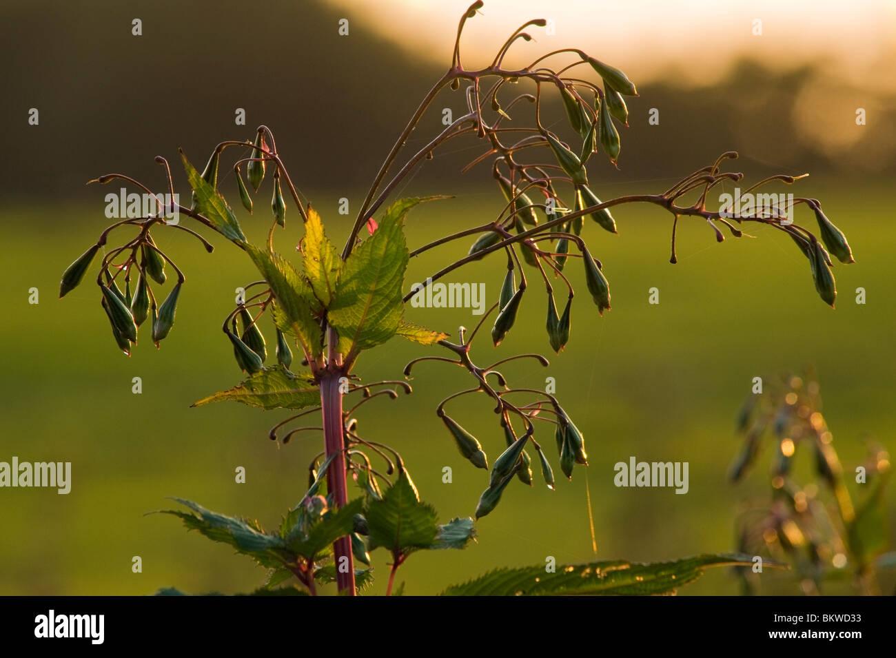 Les gousses de graines de balsamine de l'Himalaya (Impatiens glandulifera) près de Garstang, Lancashire, Angleterre Banque D'Images