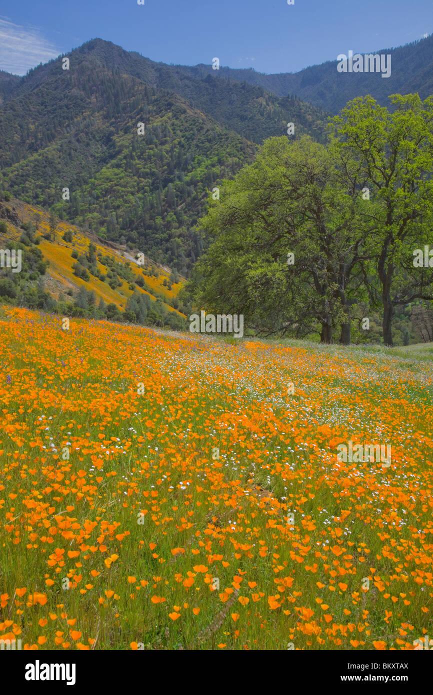 Sierra National Forest, CA: colline couverte de fleurs de printemps avec les arbres de chêne Photo Stock