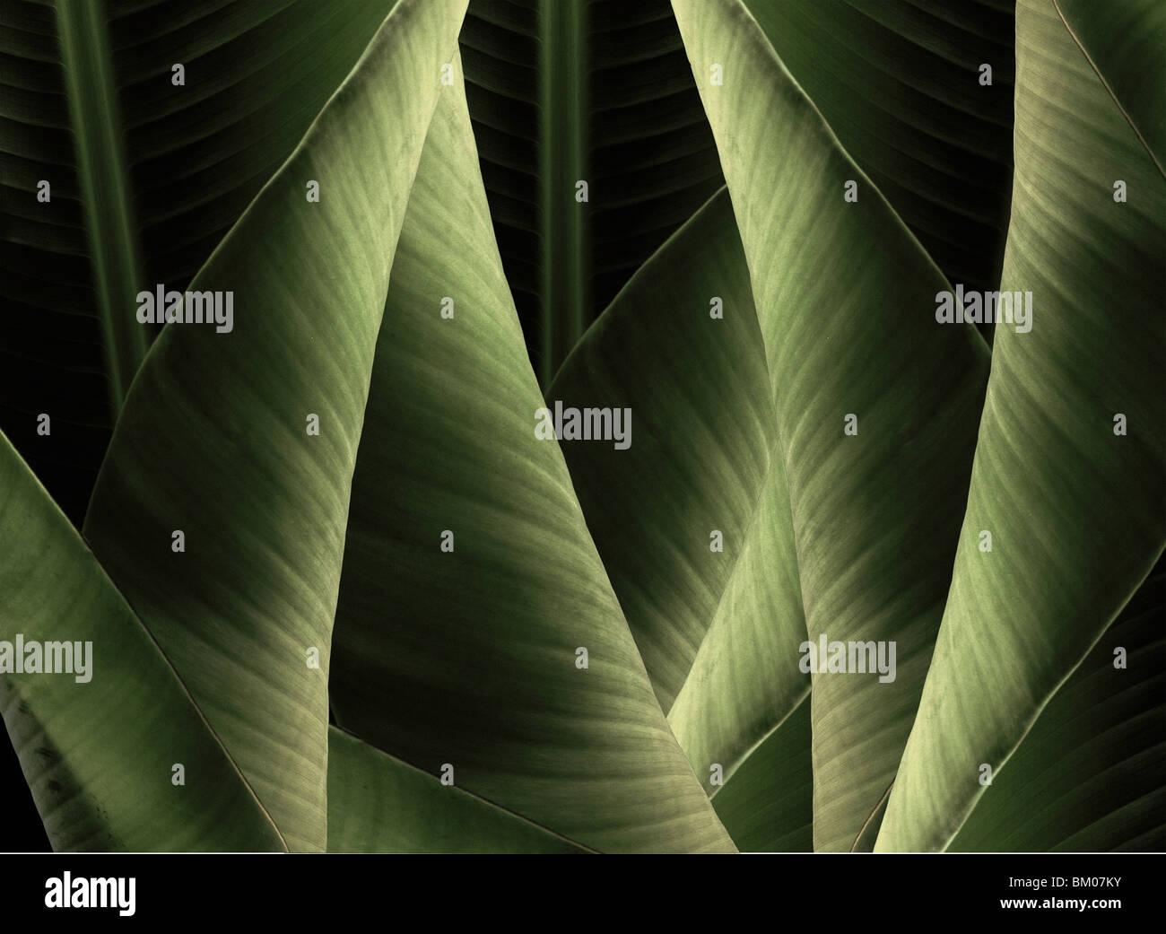 Feuilles de bananier. Ces pièces sont tous créés à New York à partir de plantes Hawaïennes. Photo Stock