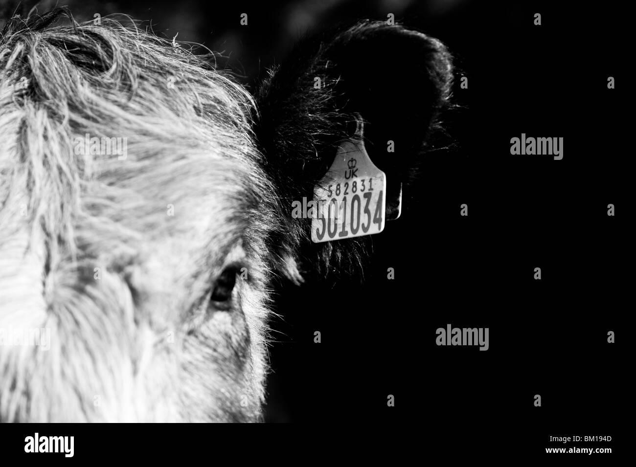 Campagne agricole Robert Galloway vache veau mâle Photo Stock