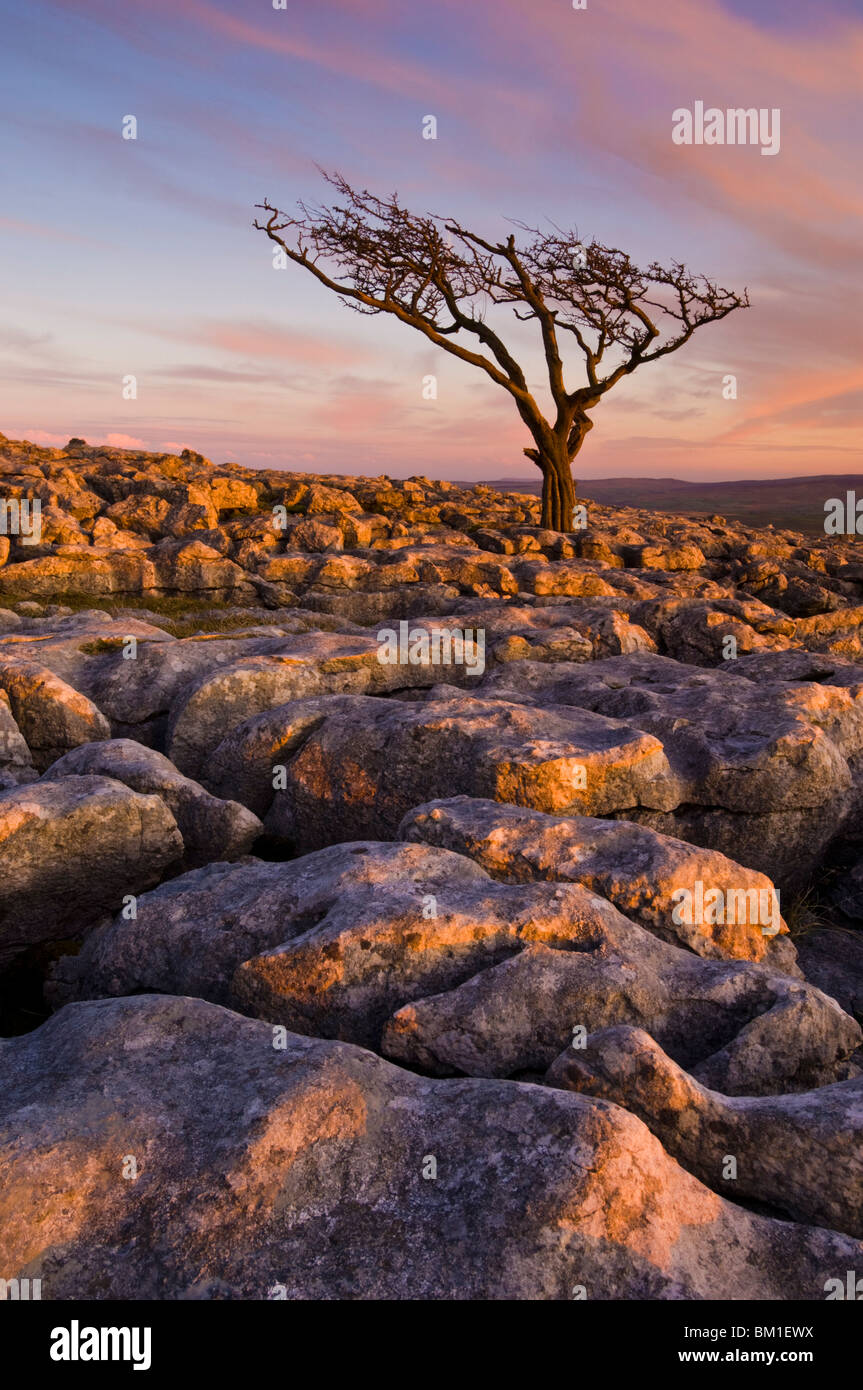 Arbre tordu, Twistleton fin cicatrice, Ingleton, Yorkshire Dales National Park, England, United Kingdom Photo Stock