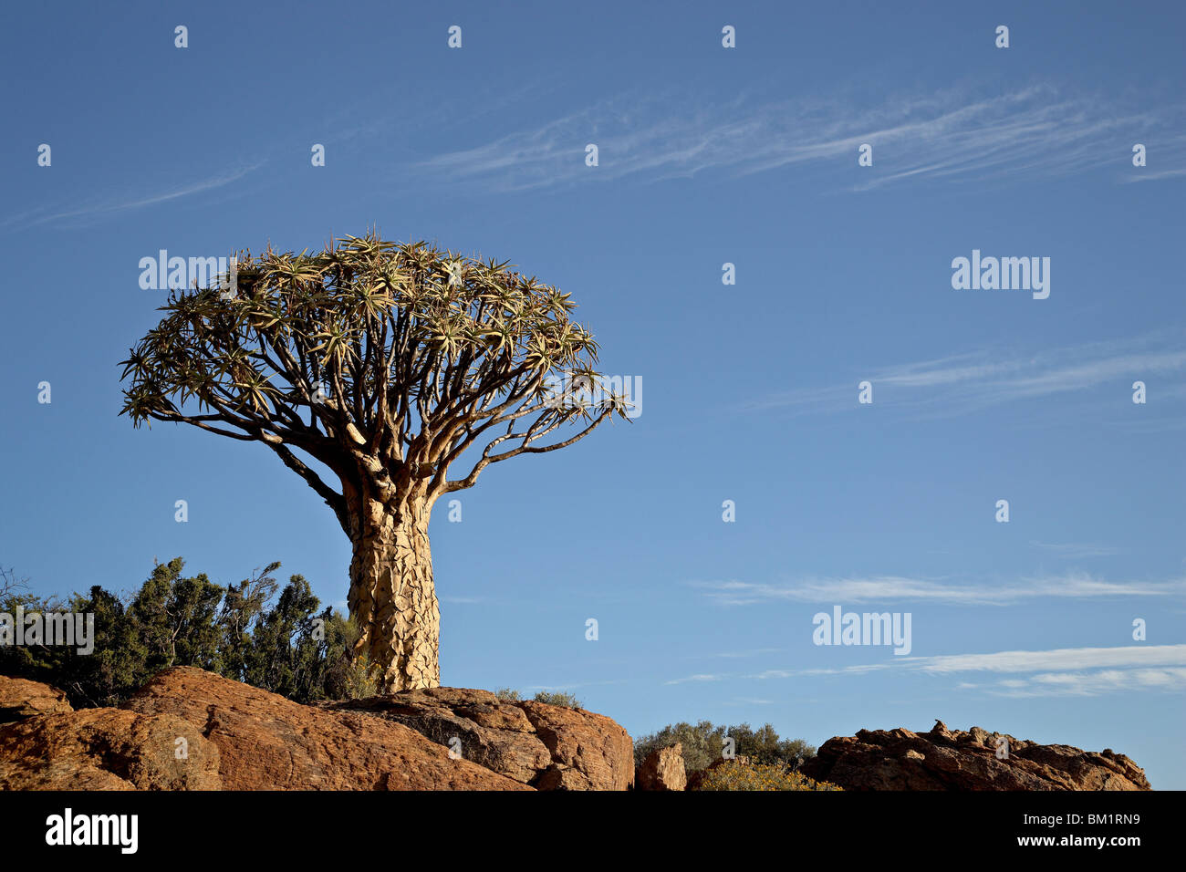 Arbre carquois (kokerboom (Aloe dichotoma)), springbok, Afrique du Sud, l'Afrique Photo Stock