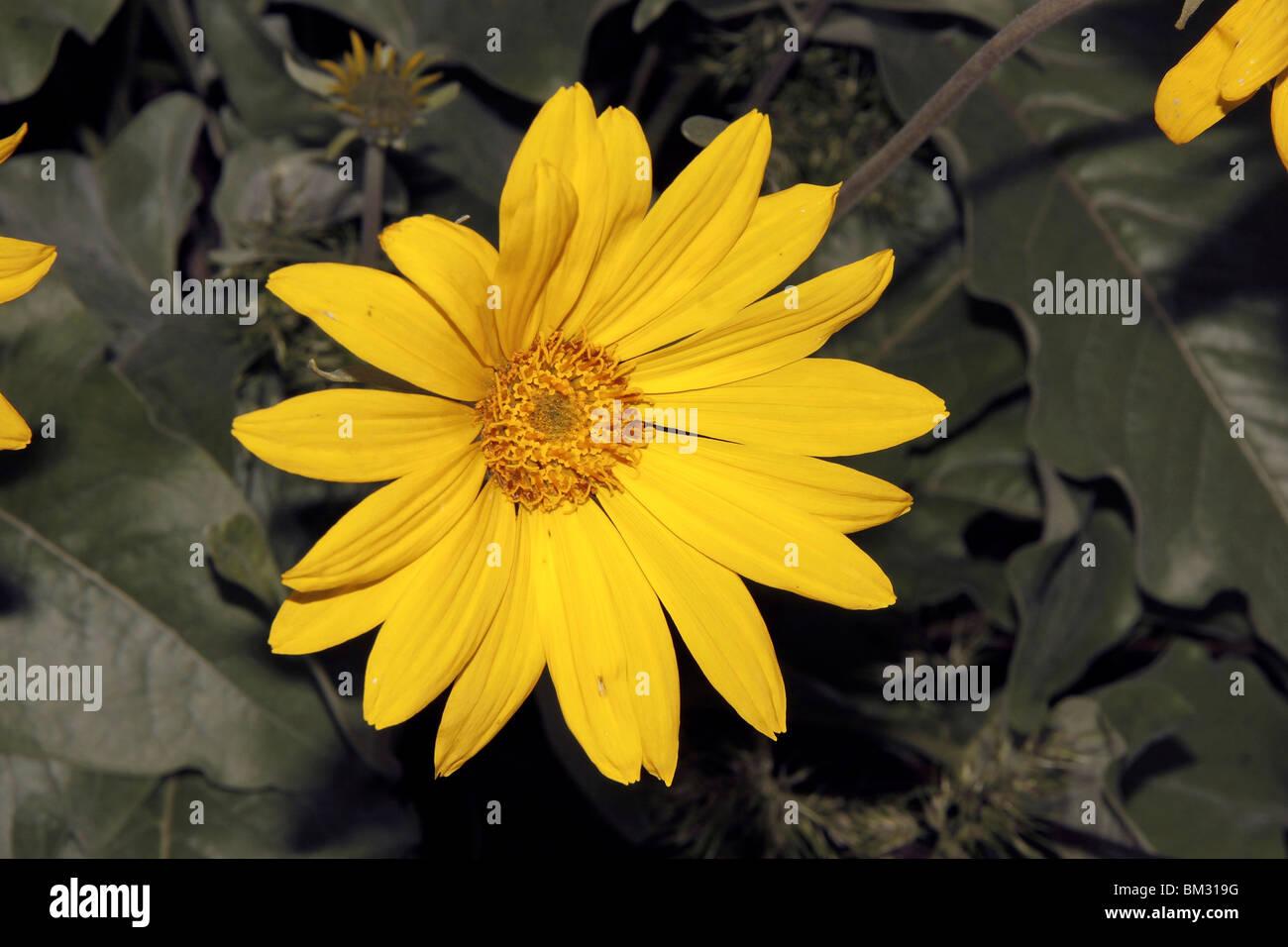 Close Up Of Leaf Arrow Root Baumier Fleurs Qui Poussent Et