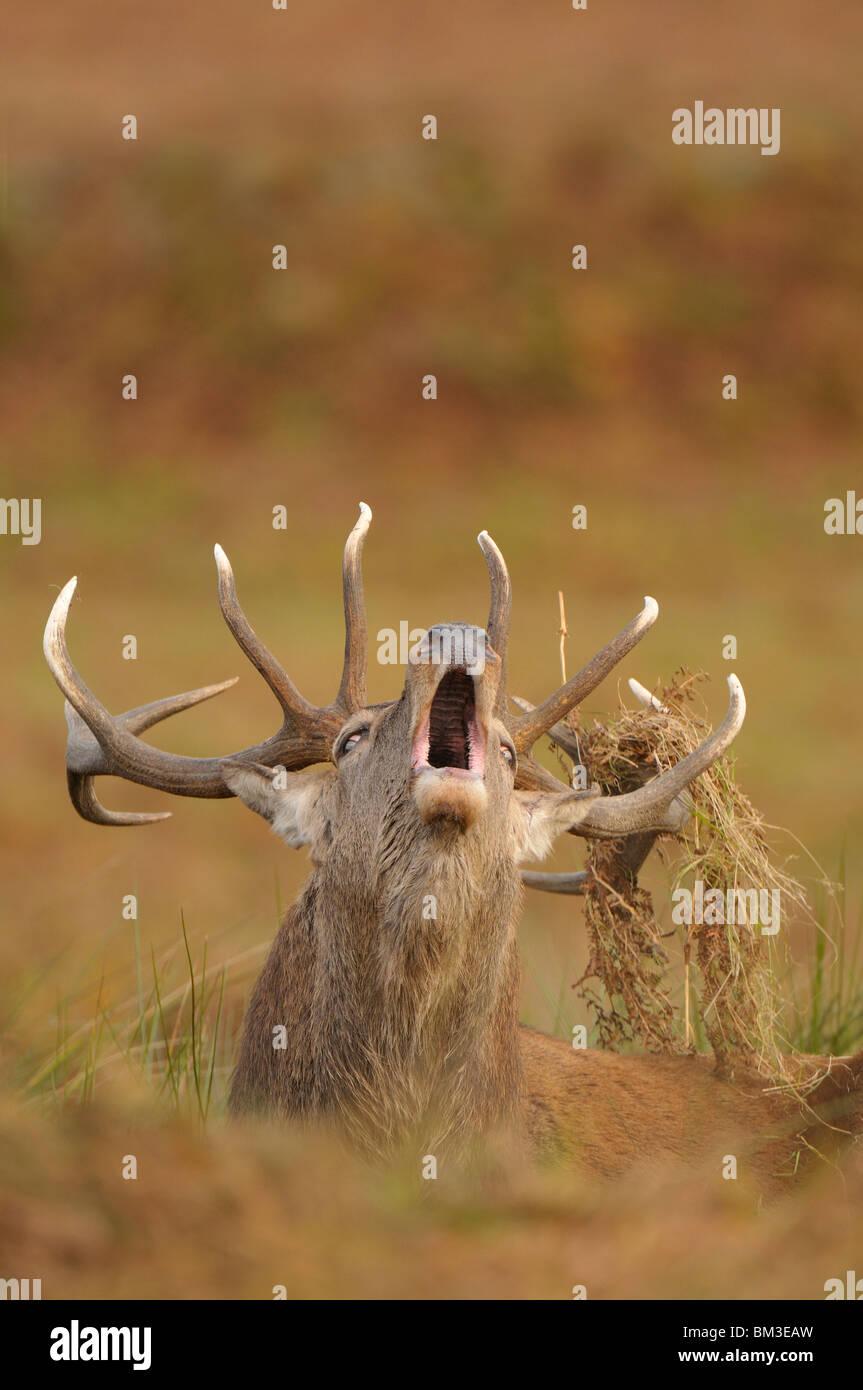 Red Deer (Cervus elaphus). Stag en rut d'automne, Leicestershire, UK rugissant Photo Stock