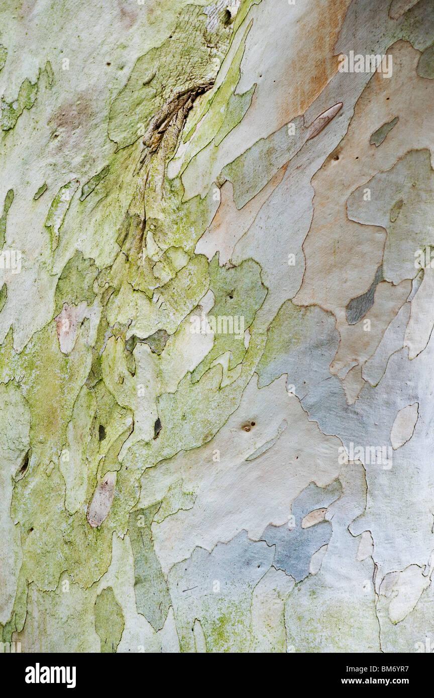 Eucalyptus pauciflora niphophila. Snow gum l'écorce des arbres. UK Photo Stock