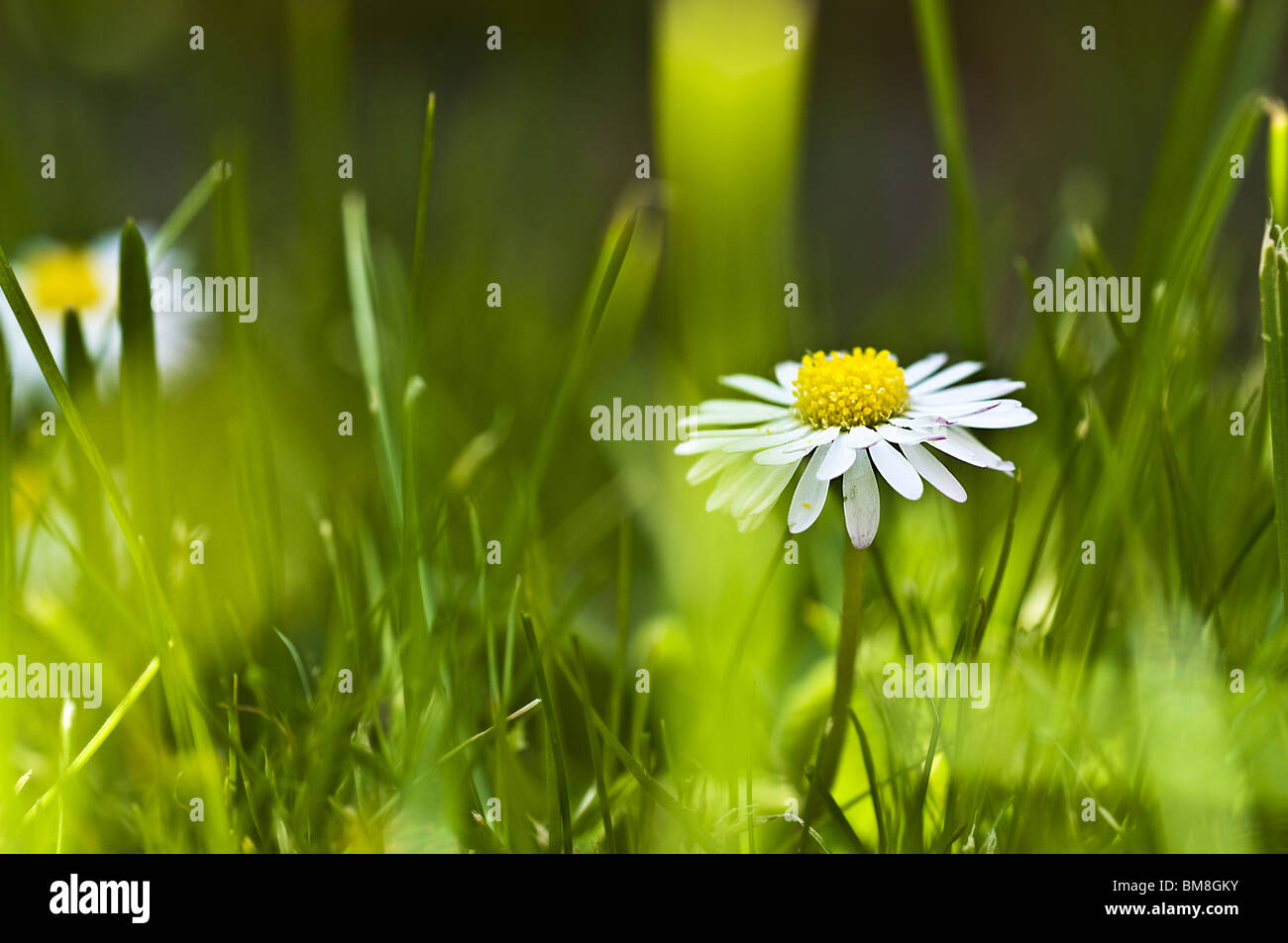 Daisy Photo Stock