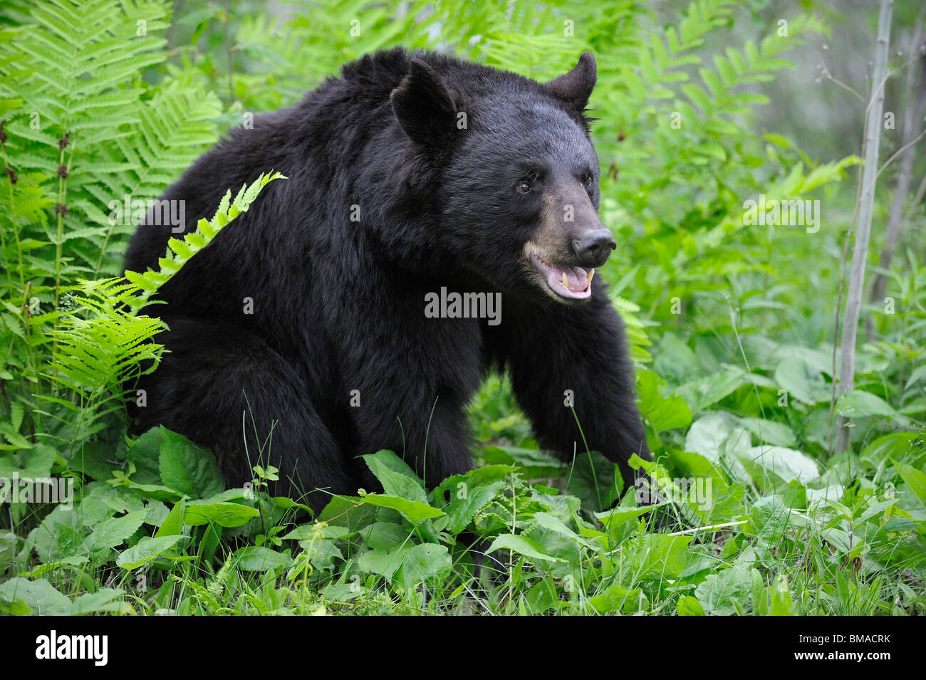 L'ours noir en Prairie, Minnesota, USA Banque D'Images