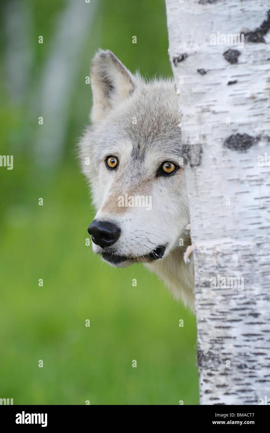 Portrait de Loup, Minnesota, USA Banque D'Images