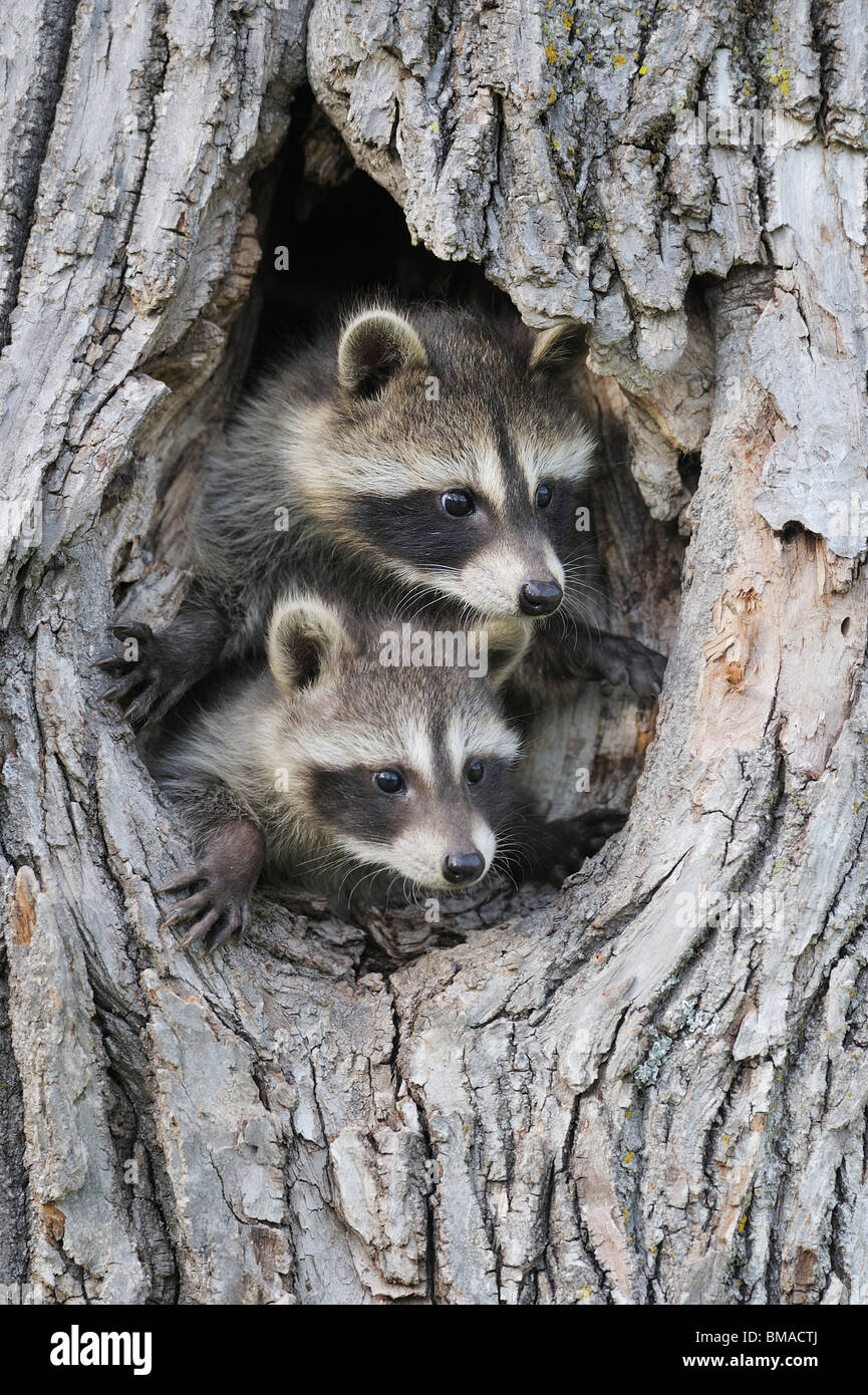 Baby Raccoons, Minnesota, USA Banque D'Images