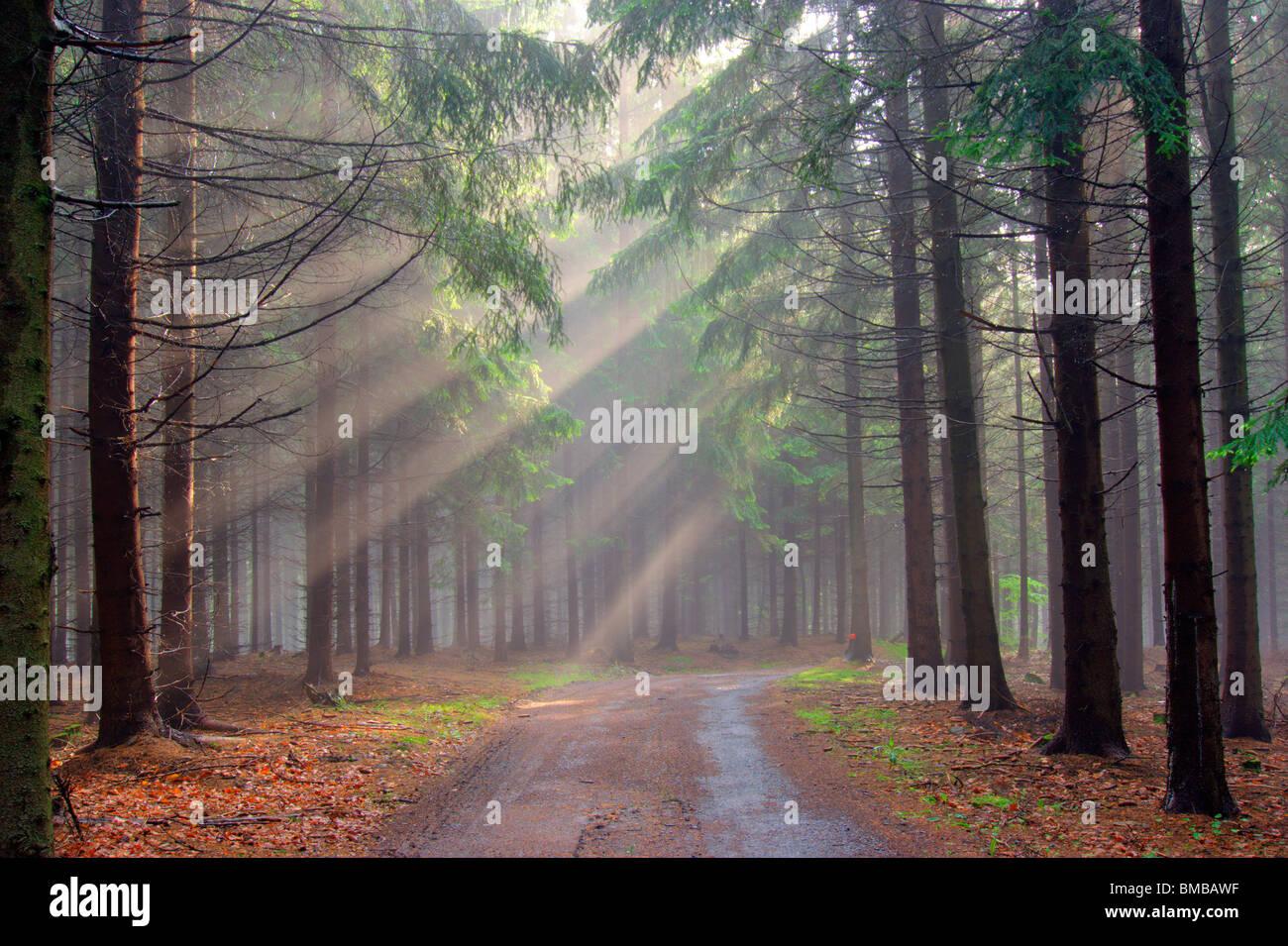 Dieu chevrons - forêt de sapins dans la brume matinale Photo Stock