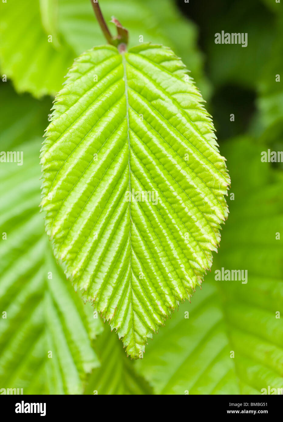 Feuille de charme au printemps, UK. Carpinus betulus. Photo Stock