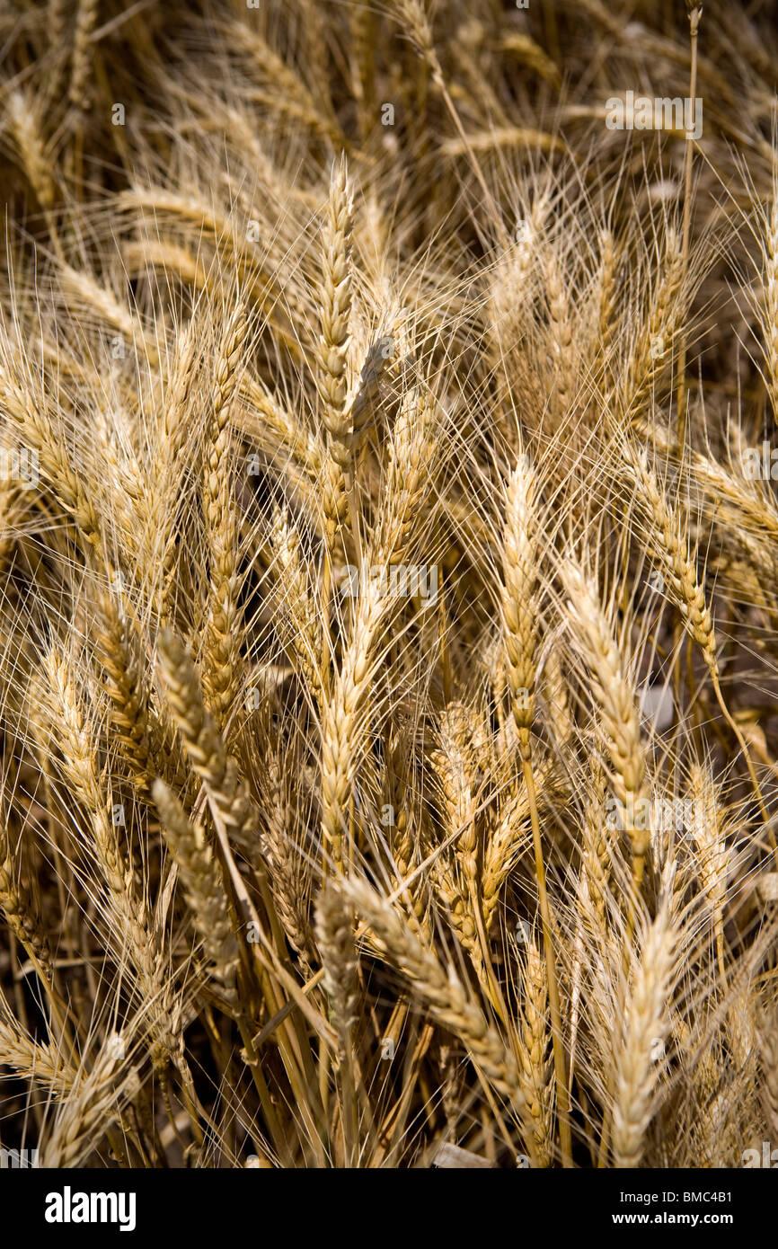 Champ de blé et route de campagne dans les régions rurales de l'Arkansas. Photo Stock