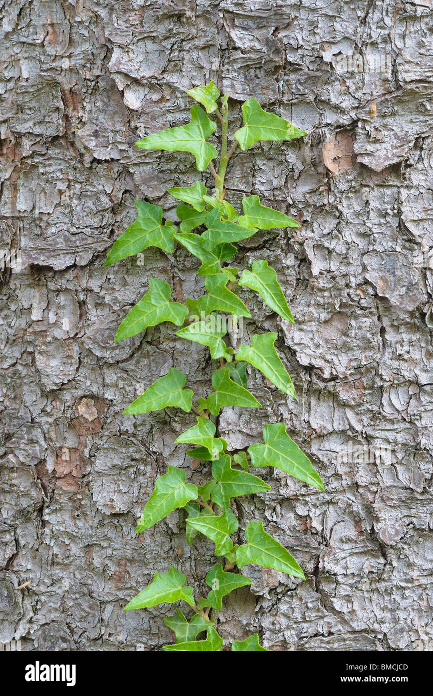 Lierre grimpant tronc de l'arbre Banque D'Images