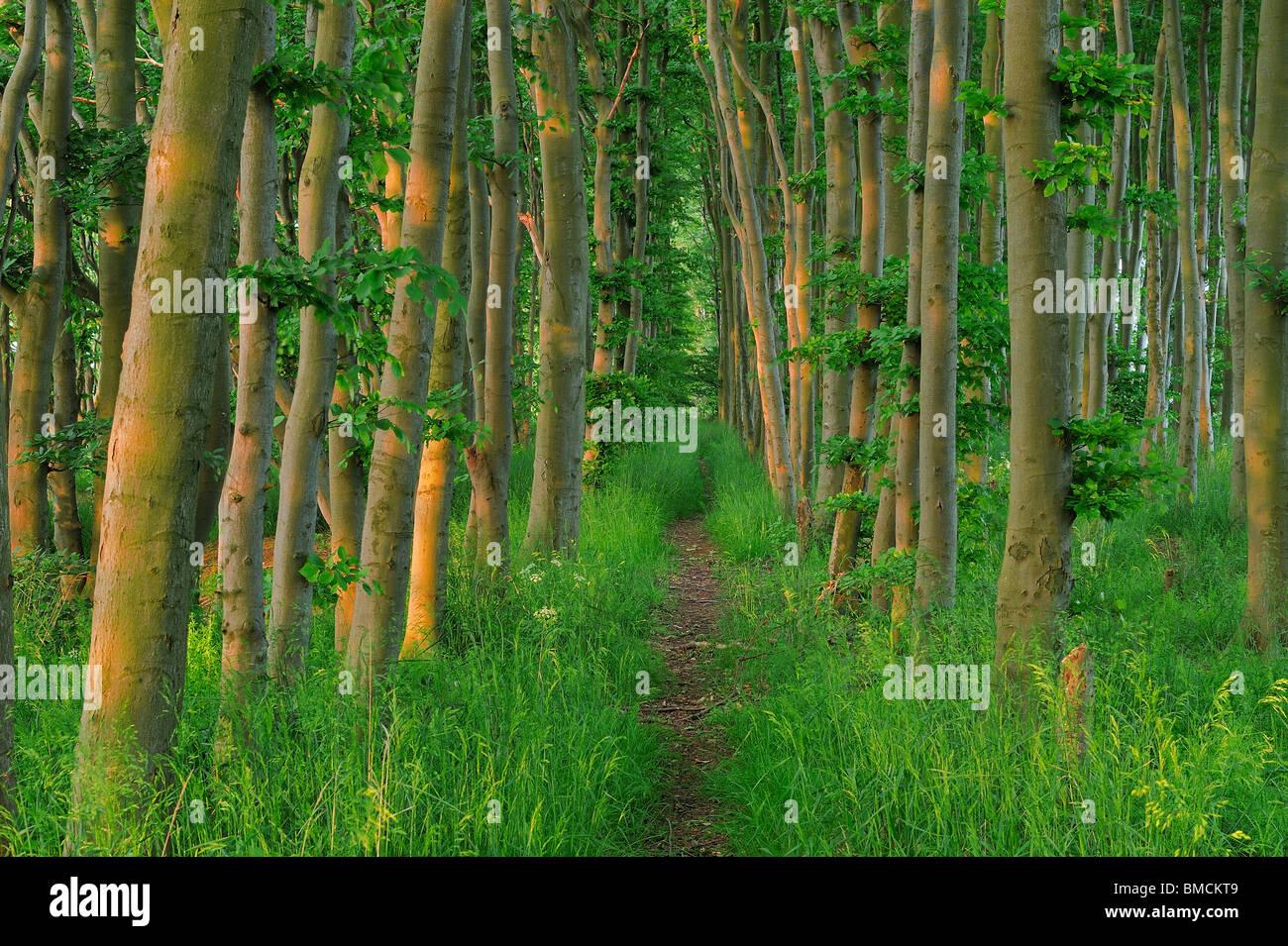 Chemin forestier, Ruegen Island, Quartier Ruegen, Mecklembourg, Mecklenburg-Vorpommern, Allemagne Banque D'Images