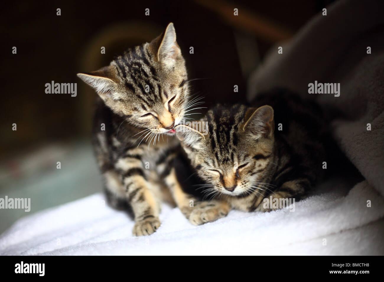 Deux jeunes chatons lave les uns les autres et dormir. Photo Stock