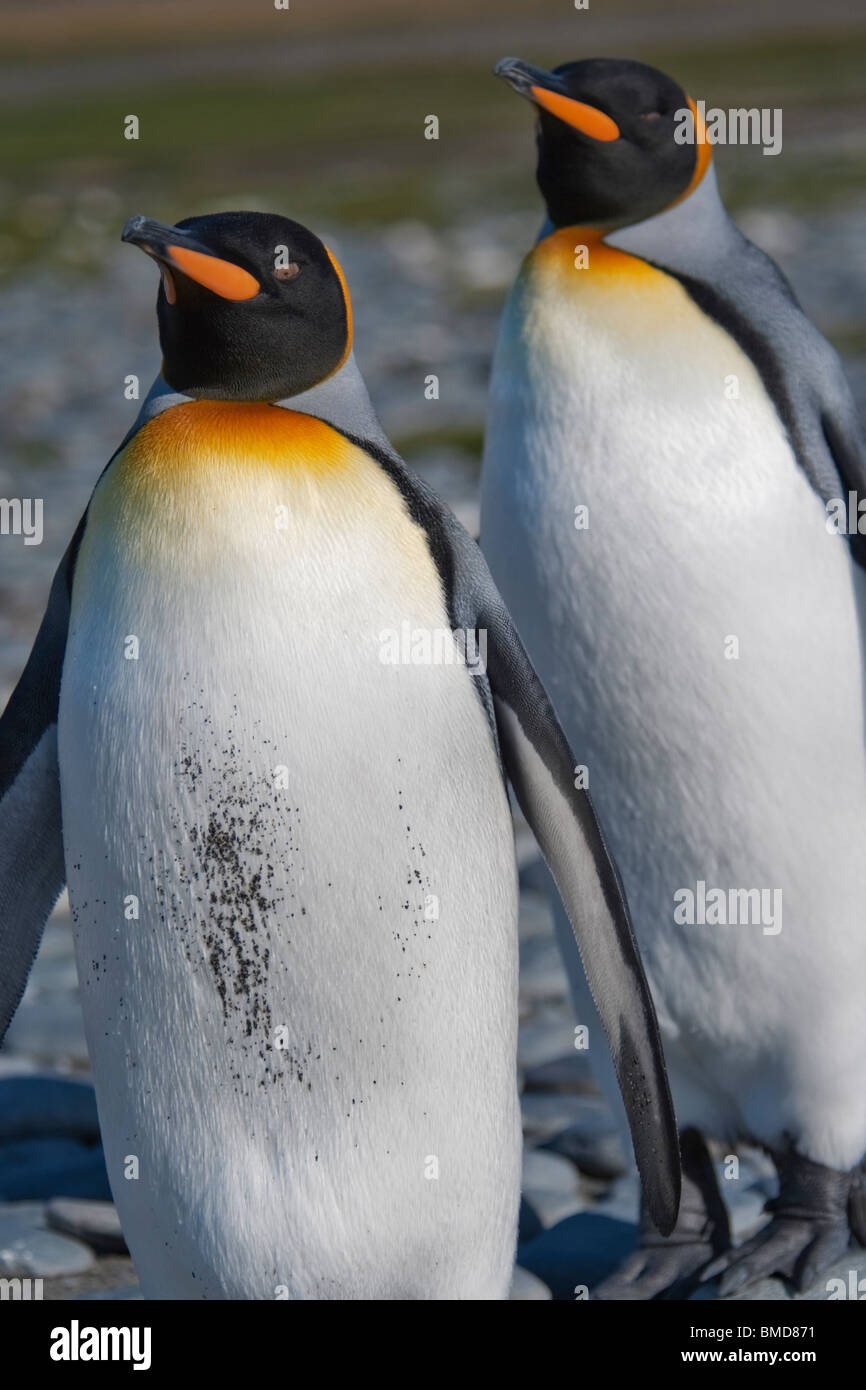 Manchot royal Aptenodytes patagonicus, une cour, le comportement, la plaine de Salisbury, la Géorgie du Sud, Photo Stock