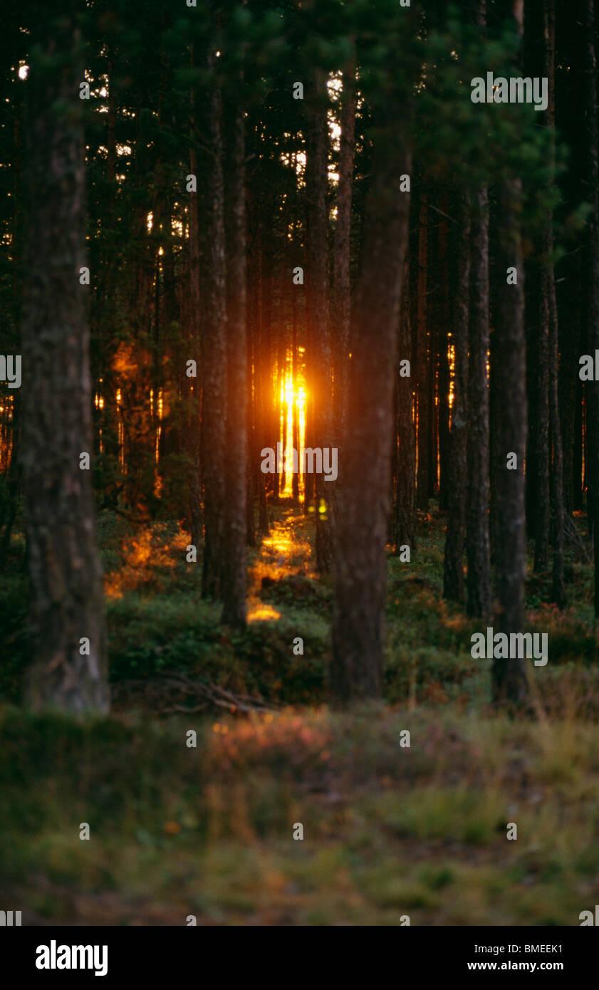 La forêt de conifères au coucher du soleil Banque D'Images