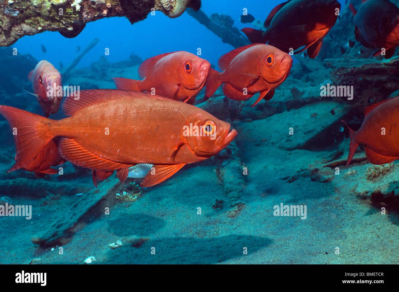 Big-eye ou Goggle-eye sur épave. Mer Rouge, Egypte. Photo Stock