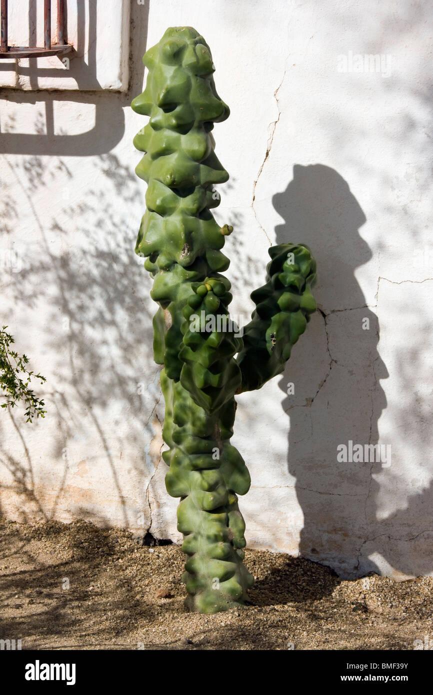 Totem cactus lophocereus schotti photo stock