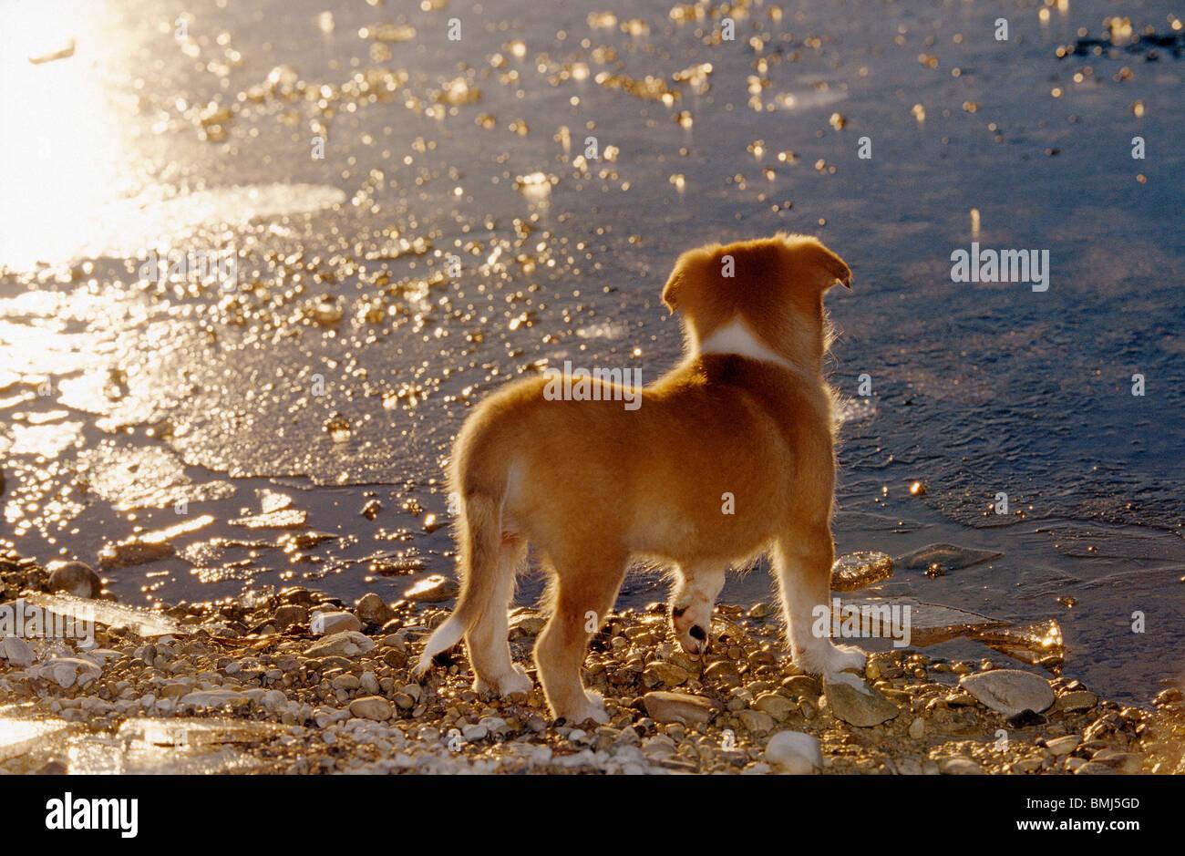 Naissance: half breed chien chiot (8 semaines) Comité permanent de l'eau à Banque D'Images