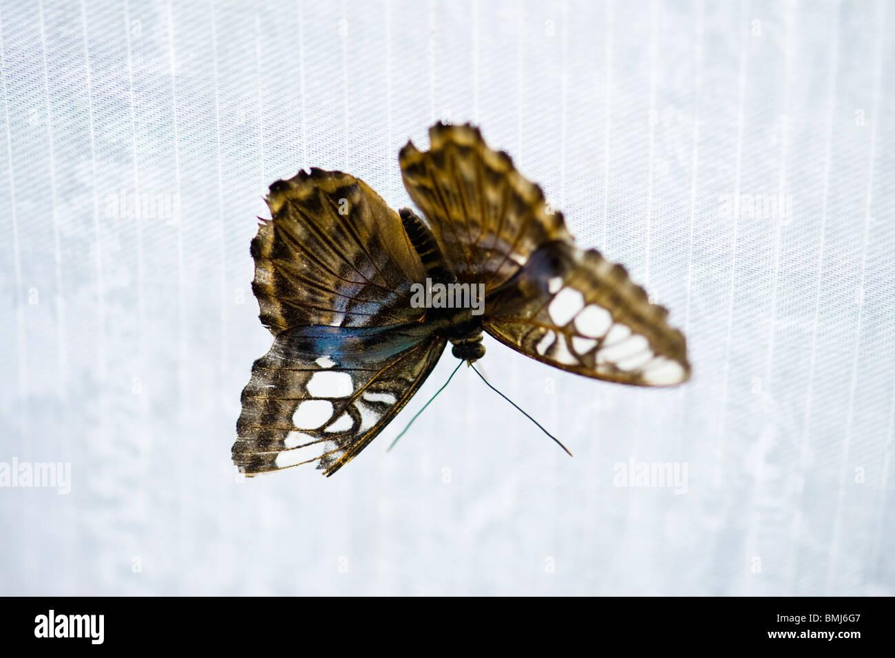 Golders Hill Park , papillon Parthenos Sylvia Lilacinus ou Clipper ( bleu ) , originaire d'Asie du Sud Photo Stock