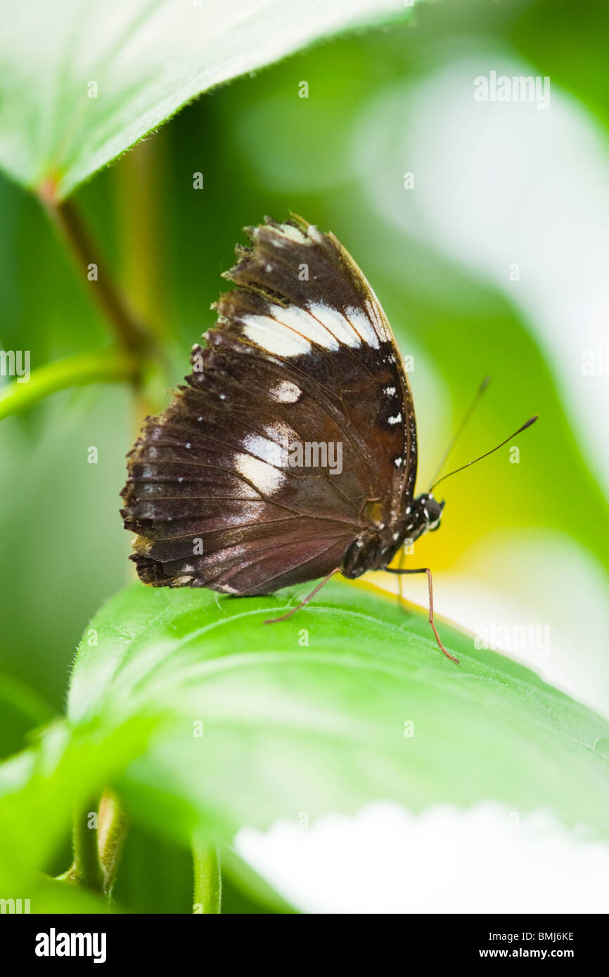 Golders Hill Park , papillon Papilio Polytes ou Mormon commun forme adulte , cyrus , Asie , indigènes perché Photo Stock