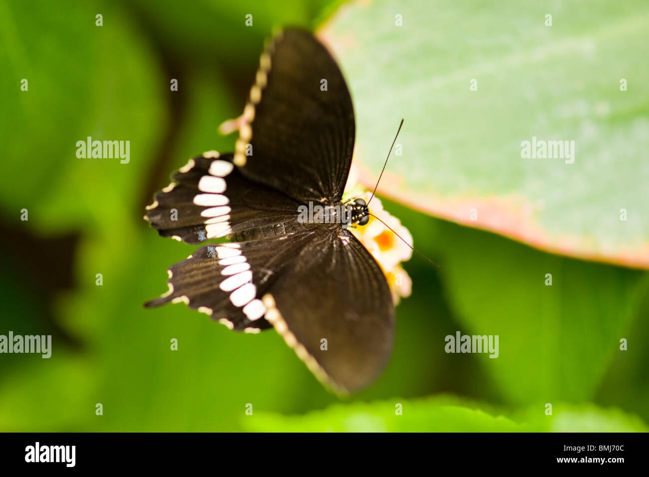 Golders Hill Park , papillon Papilio Polytes ou Mormon commun forme adulte , cyrus , Asie , indigènes sur fleur Photo Stock
