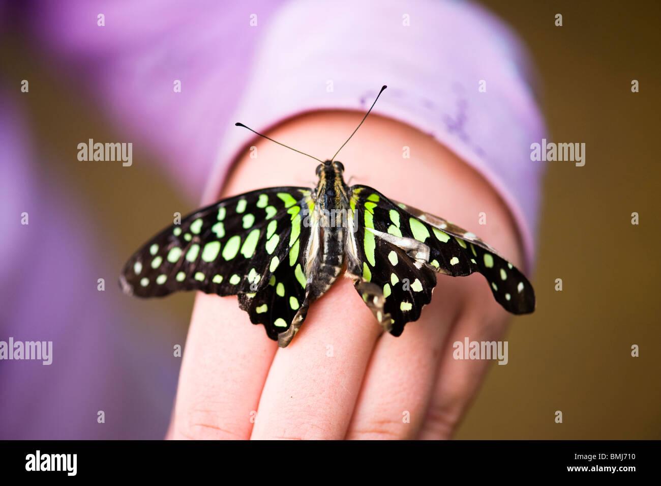 Golders Hill Park , papillon Graphium Agamemnon ou triangle vert , originaire d'Asie du Sud , au soleil sur Photo Stock